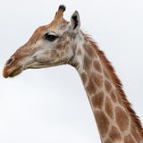 Watching Giraffe Stock Images