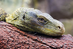 Watching green lizard Stock Images