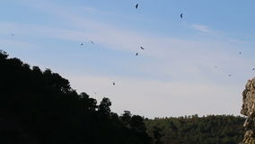 Flying griffon vultures near Salto del Gitano, Spain stock video