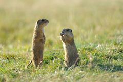 Watching ground squirrel. In the green grass royalty free stock photography
