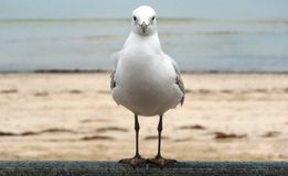 Watching. This gull was watching me, just in case I had food to offer Royalty Free Stock Photos