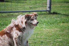 Watching the Herd. Australian Shepherd, overseeing his herd, awaits directions from his handler stock photography
