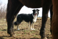 Watching horses. Border collie herding a young horse. Hard working dog Stock Photos