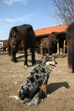 Watching horses. Australian shepherd watching horses at the stable Royalty Free Stock Images