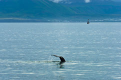Watching humpback whale at Husavik bay area Royalty Free Stock Images
