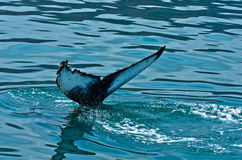 Watching humpback whale just before a dive at Husavik bay area Stock Images