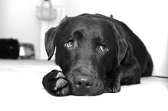 Watching Labrador 2. Watching chocolate labrador backyard sleep Royalty Free Stock Images