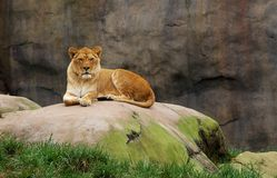 Watching Lioness Stock Image