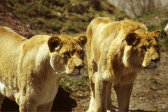 Watching lions. Lions anticipating Royalty Free Stock Photo