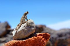Watching lizard in mountains Royalty Free Stock Images