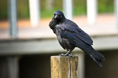 Watching me watching them. Black crow standing on a timber post Stock Photography