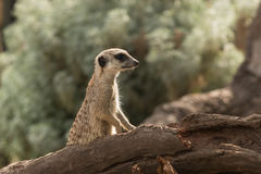 Watching meerkat Royalty Free Stock Photos