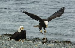 Watching Mom. Watching a mother eagle wrestle with a halibut backbone stock image