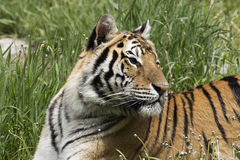 Watching the movement. Resting tiger in lush green grass Stock Images