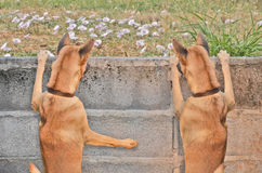 Watching out twin dogs over the wall Stock Image