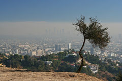 Watching over the city. A tree on a hill off Mulholland Drive in Los Angeles.  View of the city skyline through thick smog Stock Photography