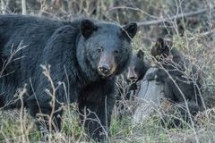 Watching over her cubs. Mama Black Bear keeping an eye on what`s going on around her . While the cubs play in the background royalty free stock photos