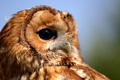 Watching owl. With his big eyes royalty free stock image