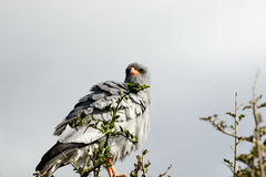 Watching - Pale Chanting Goshawk - Melierax Canorus. Watching - The pale chanting goshawk is a bird of prey in the family Accipitridae. This hawk breeds in Stock Photo