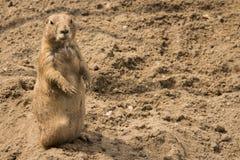 Watching prairie dog stock image