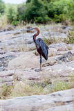 Watching Purple Heron Stock Photography