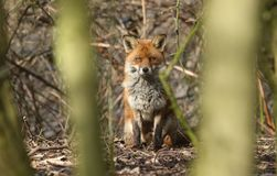 A watching Red Fox Vulpes vulpes hiding behind trees in the undergrowth. royalty free stock image