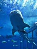Watching Rhincodon typus or Whale shark swimming. Watching Rhincodon typus or Whale shark swimming in the Okinawa Churaumi Aquarium, Japan royalty free stock photo