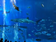 Watching Rhincodon typus or Whale shark swimming. Watching Rhincodon typus or Whale shark swimming in the Okinawa Churaumi Aquarium, Japan stock photography