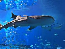 Watching Rhincodon typus or Whale shark swimming. Watching Rhincodon typus or Whale shark swimming in the Okinawa Churaumi Aquarium, Japan stock photos