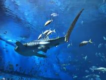 Watching Rhincodon typus or Whale shark swimming. Watching Rhincodon typus or Whale shark swimming in the Okinawa Churaumi Aquarium, Japan stock image
