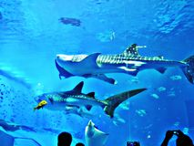 Watching Rhincodon typus or Whale shark swimming. Watching Rhincodon typus or Whale shark swimming in the Okinawa Churaumi Aquarium, Japan royalty free stock photos
