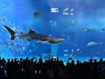 Watching Rhincodon typus or Whale shark swimming. Watching Rhincodon typus or Whale shark swimming in the Okinawa Churaumi Aquarium, Japan royalty free stock images