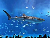 Watching Rhincodon typus or Whale shark swimming. Watching Rhincodon typus or Whale shark swimming in the Okinawa Churaumi Aquarium, Japan royalty free stock image
