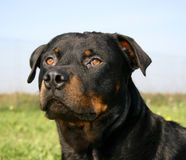 Watching rottweiler. Watching purebred mastiff rottweiler sitting in a field Royalty Free Stock Image