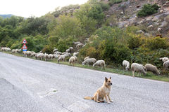 Watching sheepdog in the south of Italy Stock Photo