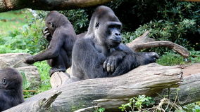 Watching silverback gorilla stock video footage