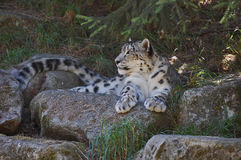 Watching Snow Leopard Royalty Free Stock Photography