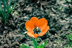 orange tulip macro royalty free stock image