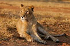Watching the sun set. A lionesse in a lion park near Johannesburg, South Africa Stock Image