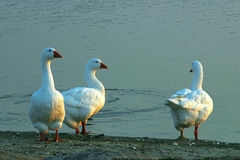 Watching The Sunset. Three snow geese at the edge of a lake Stock Image