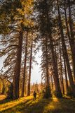 Watching the sunset through the giant trees stock images