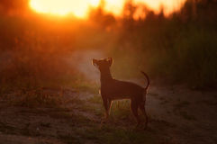 Watching the sunset. A small dog inspired by a sunset Royalty Free Stock Images
