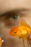Watching Swimming Goldfish  Stock Photography