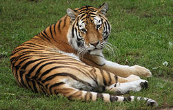 Watching Tiger. Siberian Tiger Female Watching Tail eyes stripes paws whiskers endangered Stock Image