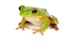 Watching tree frog. Sitting white-lipped tree frog or Litoria Infrafrenata isolated on white Stock Image