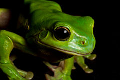 Watching tree frog Stock Photo