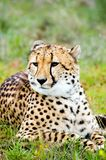 Watching For Trouble. A young male cheetah watches for trouble Royalty Free Stock Photography