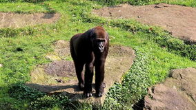 Watching and walking female gorilla Royalty Free Stock Photos