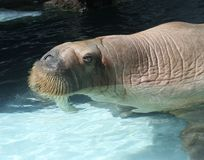 Watching Walrus Royalty Free Stock Image