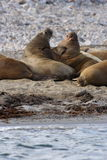 Watching a Walrus haulout. Walrus Hul Out in the Atlantic ocean, Svalbard, Arctic Circle stock photos